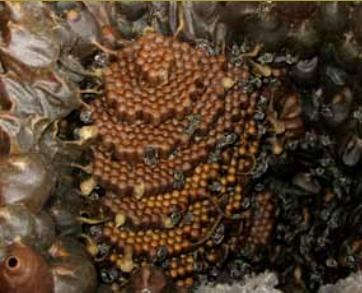Células de cria agrupadas em favos