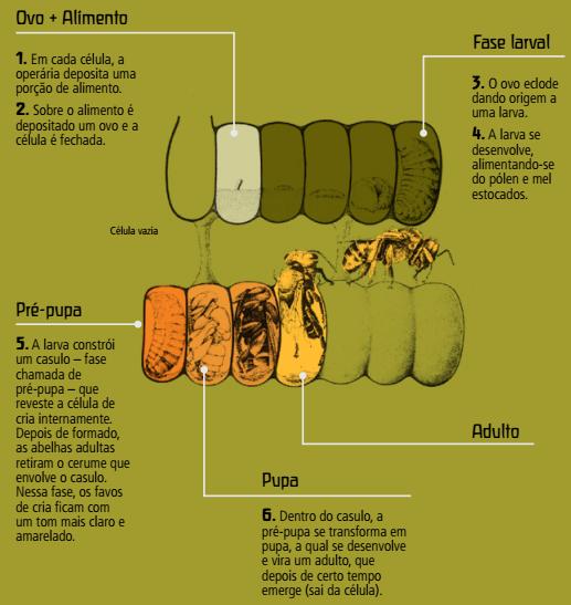 Processo de nascimento de uma abelha