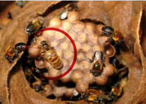 Rainha da abelha Jandaíra